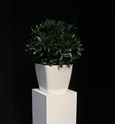 Plant kleur Groen met Witte Pot Lydison Verhuur